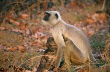 Langur monkeys in Sariska National Park