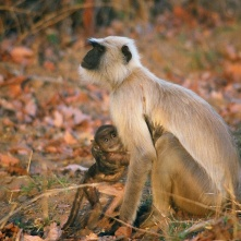 Langur monkeys in Sariska National Park