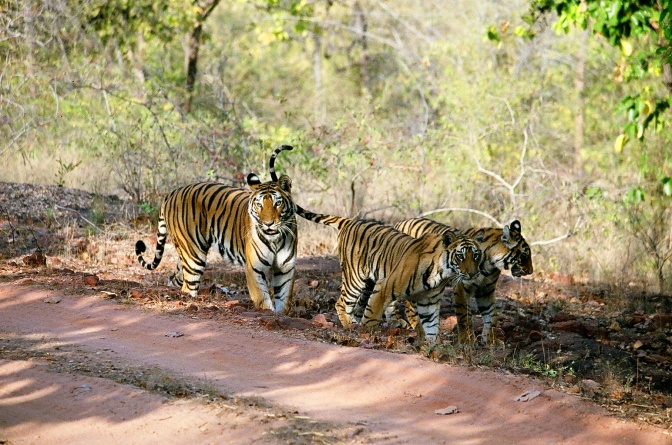 Tigress with two of four cubs in Bandhavgargh National Park