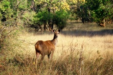 Female sambar deer in Sariska National Park