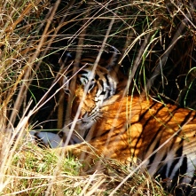 Large male tiger in Kanha National Park